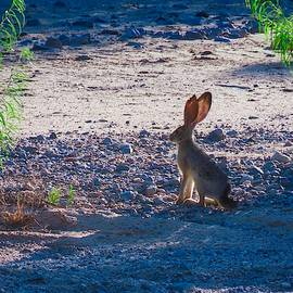 Black-Tailed Jackrabbit in a Desert Wash by Judy Kennedy