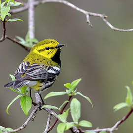 Black-throated Green Warbler - 2019043015 by Mike Timmons