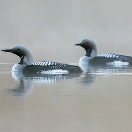Wonderfulearth - Black-throated Loon, Gavia arctica, Sweden