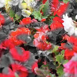 Black - White - Color Roses by Doc Braham