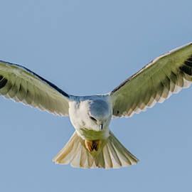 Black Winged Kite Hovering by Morris Finkelstein