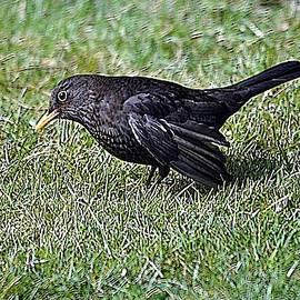 Blackbird In The Garden by John Hughes