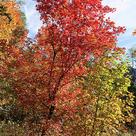 Blazing Maples in the Canyon by Kathleen Bishop