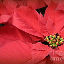 Dora Sofia Caputo Photographic Design and Fine Art - Red Poinsettias for Christmas