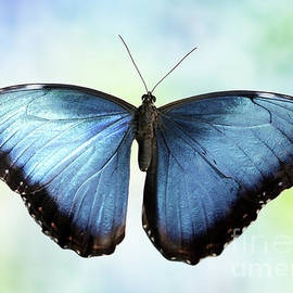 Blissful Blue Morpho Butterfly by Sabrina L Ryan