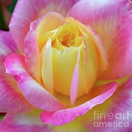 Blooming Beauty - Rose by Cindy Treger