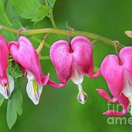 Blooming Bleeding Heart Plant by Regina Geoghan