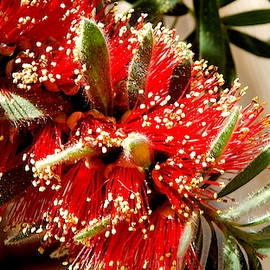 Blooming Bottlebrush - Close Up by Arlane Crump