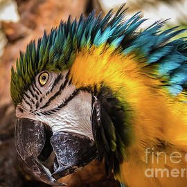 Blue and yellow macaw portrait by Lyl Dil Creations
