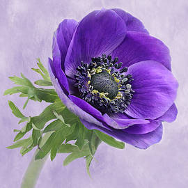 Blue Anemone by Isabela and Skender Cocoli