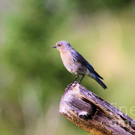 Blue bird by Jeff Swan