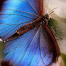 Blue Butterfly by Arlane Crump