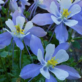 Blue Columbine Dew by Cascade Colors