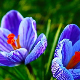 Blue Crocus Duo by Loretta S