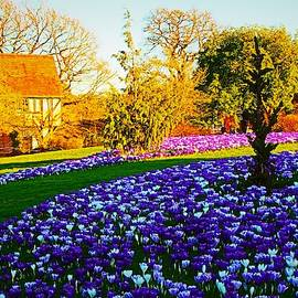 Blue Crocus Field by Loretta S