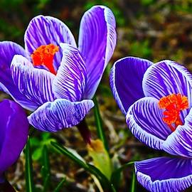 Blue Crocus Macro by Loretta S