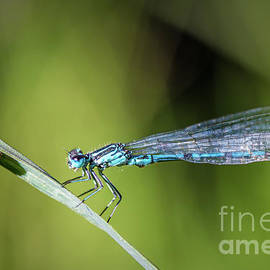 Blue Dragonfly insect perched on herb with small snail by Gregory DUBUS