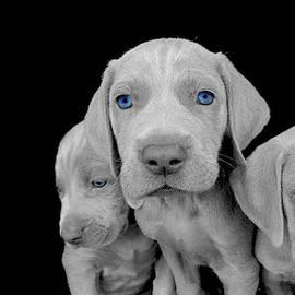 Blue-eyed Weimaraner Puppies by David Farlow