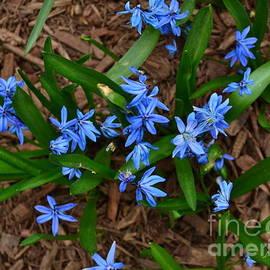 Blue Flowers of Spring - Central Park New York by Miriam Danar