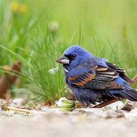Blue Grosbeak - 2019050114 by Mike Timmons