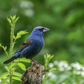 Blue Grosbeak - 4332 by Jerry Owens