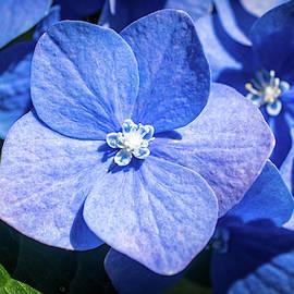 Blue Hydrangea Macro by Mary Ann Artz