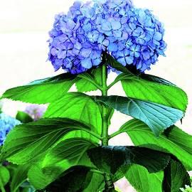 Blue Hydrangea With Green Leaves by Cynthia Guinn