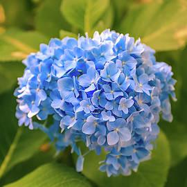 Blue Hydrangeas by Dan Sproul