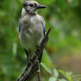 Blue Jay - 7406 by Jerry Owens