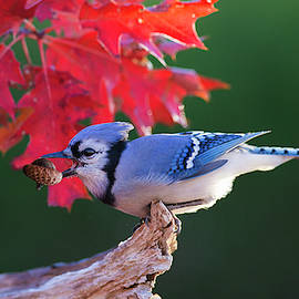 Blue Jay and Northern Red Oak by Mircea Costina Photography