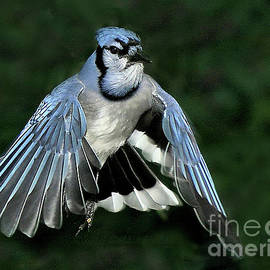 Blue Jay by Debbie Stahre