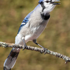 Blue Jay by Jerry Fornarotto