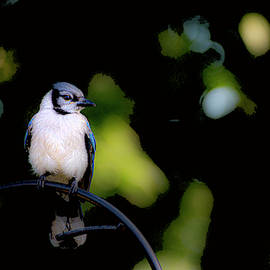 Blue Jay Watch Duty by Diane Lindon Coy