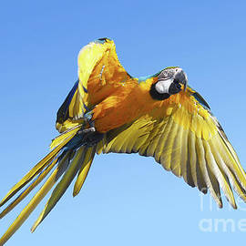 Blue Macaw in flight by Gregory DUBUS