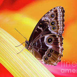 Blue Morpho Red And Yellow by Sharon McConnell