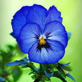 Blue Pansy by Marilyn De Block