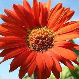 Blue Skies and Orange Blossom by Dora Sofia Caputo Photographic Design and Fine Art