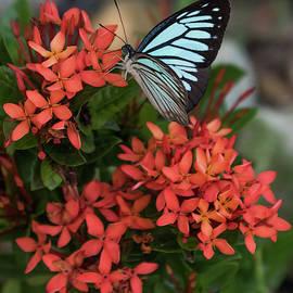 Blue Tiger Butterfly on Lxora Coccinea by Tran Boelsterli