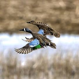 Rick Grisolano Photography LLC - Blue Winged Teals In Flight