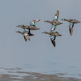 Kathy Stewart - Blue Winged Teals