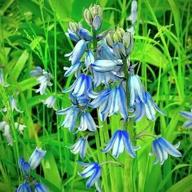Blue Wood Hyacinth by Alida M Haslett