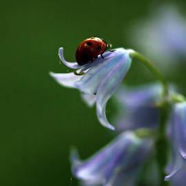 Bluebells and Ladybird by Liz Alderdice