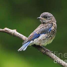 Bluebird Fledgling by Tina LeCour