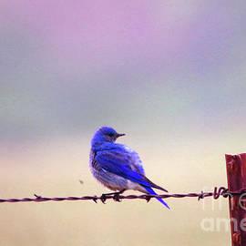 Bluebird on barbed wire by Jeff Swan