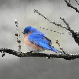 Bluebird on Gray by Carmen Macuga