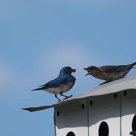 Bluebirds by Zina Stromberg