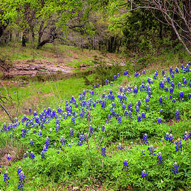 Bluebonnets And Old Oak Trees - Texas Hill Country by Brian Harig