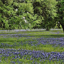 Bluebonnets of Texas # 24 by Allen Beatty