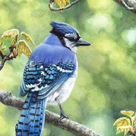 Blue Jay in Spring by Shana Rowe Jackson