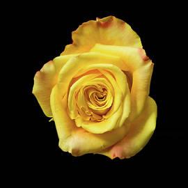 Blushing Beauty by Jipsi Immanuelle